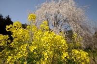 愛媛県 菜の花としだれ桜