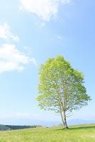 長野県 霧ヶ峰高原 新緑の木