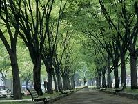宮城県 新緑の定禅寺通り