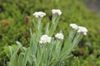 静岡県 聖岳 タカネヤハズハハコの花