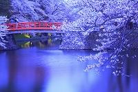 山形県 米沢城 夕方の菱門橋と桜