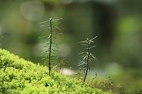 長野県 上高地 発芽