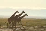 ケニヤ アンボセリ国立保護区 キリンのダッシュ