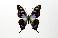 蝶 標本 ミイロタイマイ ニューギニア