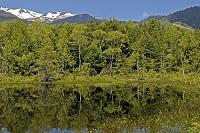 長野県 松本市 牛留池とシラカバ