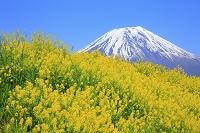 静岡県 朝霧高原 残雪の富士山とカラシナの花畑