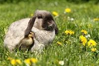 カモのヒナとウサギ