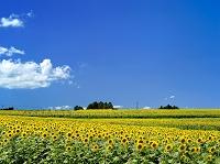 宮城県 ひまわり畑