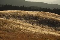 奈良曽爾高原のススキ