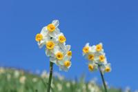 兵庫県 スイセンの花