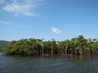 西表島 マングローブ密林(仲間川マングローブクルーズ)
