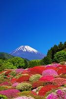 神奈川県 つつじ 富士山
