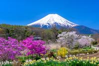 山梨県 忍野の桜と富士山