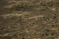 ケニア オリックスの群れ