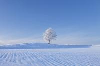 北海道 霧氷の木立