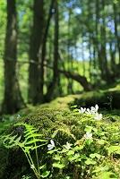 長野県 原生林とコミヤマカタバミの花