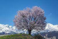 長野県 野平の一本桜