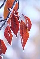 秋田県 大仙市 桜の葉と霜 晩秋
