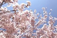 長野県 高遠小彼岸桜