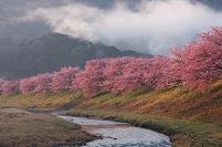 静岡県 朝のみなみの桜と青野川