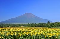 山梨県 山中湖村 花の都公園 富士山とヒマワリの花畑
