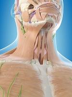 人間の喉の構造