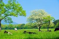 山梨県 ズミ(コナシ)の花咲く八ヶ岳牧場
