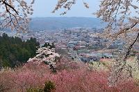 福島県 赤館公園の桜
