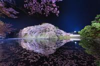 彦根城お堀の桜ライトアップ