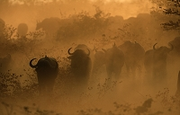 アフリカスイギュウの群れ