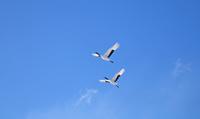 北海道 青空のタンチョウ飛翔