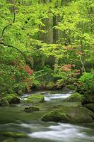 青森県 奥入瀬渓流 ツツジ咲く新緑の三乱の流れ