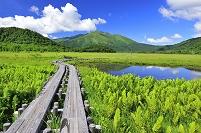 群馬県 尾瀬 上田代の木道から望むヤマドリゼンマイと池塘と至...