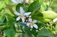 カリフォルニア州 レモンの花