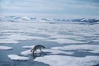カナダ 解ける氷を移動するホッキョクグマ