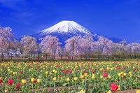 山梨県 サクラとチューリップと富士山