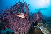 インドネシア コモド諸島 ウロコマツカサ