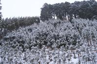 京都 高尾 北山杉