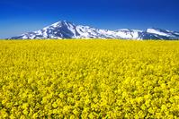 秋田県 菜の花と鳥海山