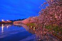 青森県 弘前公園の桜
