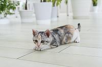 伏せて見つめる仔猫