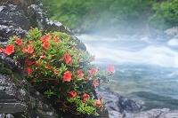 岐阜県 板取川の岩ツツジと川もや