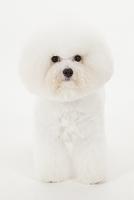 ビションフリーゼ お座りをしている犬
