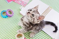 アメリカン・ショートヘアの子猫