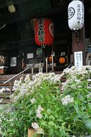京都府 行願寺のフジバカマ
