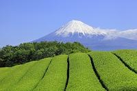 静岡県 岩本山 富士山と茶畑