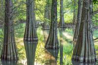 福岡県 篠栗九大の森 蒲田池とラクウショウ(落羽松)の木