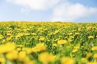 たんぽぽの花畑