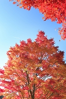 長野県 箕輪町 楓の紅葉