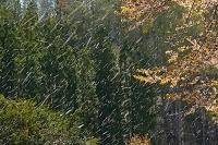 群馬県 片品村 天王桜の桜吹雪